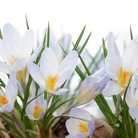 Crocus Chrysanthus Bulb Extract