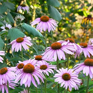 Cellules souches d'Echinacea Angustifolia