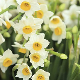 Narcissus Tazetta Bulb Extract (Sacred Lily)
